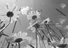 雏菊花和草 库存图片