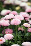 雏菊花园 库存照片