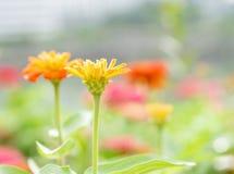 雏菊花在庭院里 库存照片
