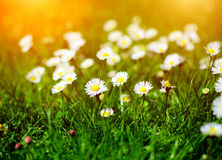 雏菊花在庭院里 库存图片