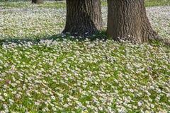 雏菊花在波隆纳的公园 库存照片