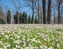 雏菊花在波隆纳的公园 免版税库存图片