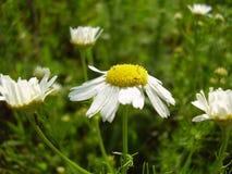 雏菊花在草甸 库存照片