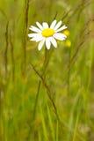 雏菊花在草甸 免版税图库摄影
