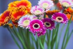 雏菊花在蓝色背景的大丁草花束 桃红色美丽的花束,桔子,紫色花 选择聚焦 免版税库存照片