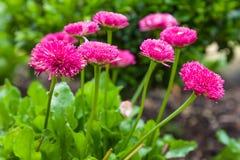 雏菊花或延命菊在花床上 免版税库存照片