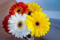 雏菊花束用红色,白色和黄色的不同的颜色 免版税库存照片