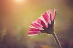 雏菊花的宏观照片 库存图片