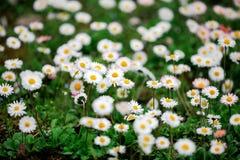 雏菊花的领域- Camomiles 免版税图库摄影