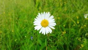 雏菊花的头在照片的中心在绿色草坪背景的  免版税库存图片