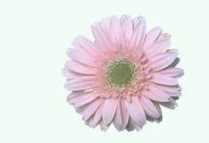 雏菊花粉红色 库存图片