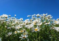雏菊花象征无罪、忠诚的爱和gentlene 库存照片