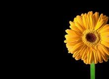 雏菊花,黄色大丁草照片在黑色的 免版税库存照片