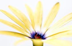 雏菊花osteospermum黄色 免版税图库摄影