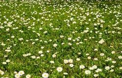 雏菊草甸。 库存图片