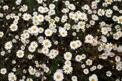 雏菊草甸从上面 库存照片