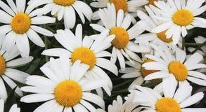 雏菊草甸白色 库存照片