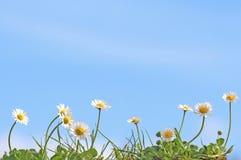 雏菊行在蓝天前面的 免版税库存图片