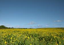 雏菊领域-考艾岛,夏威夷 免版税图库摄影