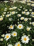 雏菊领域 库存照片