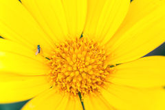 雏菊黄色 库存图片