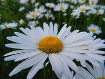 雏菊,花,自然,庭院,领域,户外,瓣,秀丽,美丽,白色,黄色 图库摄影