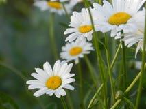 雏菊,花,自然,庭院,领域,户外,瓣,秀丽,美丽,白色,黄色 免版税库存图片