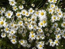 雏菊,雏菊的领域,布什 免版税库存照片