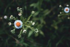 雏菊, Leucanthemum vulgare 雏菊在庭院里 头的雏菊特写镜头 减速火箭和葡萄酒神色 免版税库存照片
