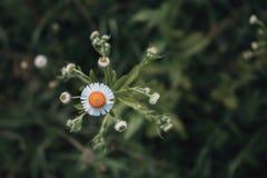雏菊, Leucanthemum vulgare 雏菊在庭院里 头的雏菊特写镜头 减速火箭和葡萄酒神色 免版税库存图片