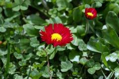 雏菊 红色雏菊在一个草甸的春天开花绿草的本质上 延命菊花 蝴蝶下落花卉花重点模式黄色 硬币花 春天 免版税库存图片