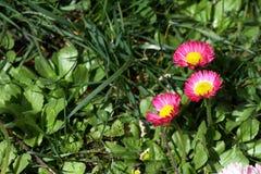 雏菊 红色雏菊在一个草甸的春天开花绿草的本质上 延命菊花 蝴蝶下落花卉花重点模式黄色 硬币花 春天 库存图片