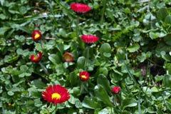 雏菊 红色雏菊在一个草甸的春天开花绿草的本质上 延命菊花 蝴蝶下落花卉花重点模式黄色 硬币花 春天 免版税库存照片