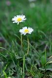 雏菊绿色草坪在夏天开花 免版税库存图片