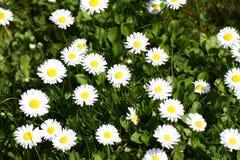 雏菊 雏菊在一个草甸的春天开花绿草的本质上 延命菊花 蝴蝶下落花卉花重点模式黄色 硬币花 春天 库存图片