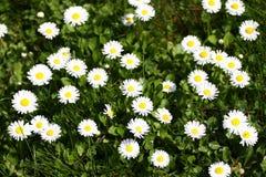 雏菊 雏菊在一个草甸的春天开花绿草的本质上 延命菊花 蝴蝶下落花卉花重点模式黄色 硬币花 春天 图库摄影