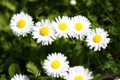 雏菊 雏菊在一个草甸的春天开花绿草的本质上 延命菊花 蝴蝶下落花卉花重点模式黄色 硬币花 春天 免版税库存照片
