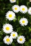 雏菊 雏菊在一个草甸的春天开花绿草的本质上 延命菊花 蝴蝶下落花卉花重点模式黄色 硬币花 春天 免版税库存图片