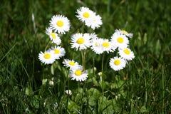 雏菊 雏菊在一个草甸的春天开花绿草的本质上 延命菊花 蝴蝶下落花卉花重点模式黄色 硬币花 春天和s 库存照片