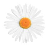 雏菊 免版税库存照片