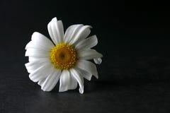 雏菊 图库摄影