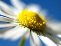 雏菊1 库存图片