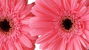 雏菊dof浅花的粉红色 免版税库存图片