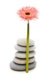 雏菊gerber查出的小卵石粉红色白色 图库摄影