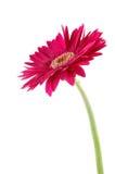 雏菊gerber粉红色 免版税库存照片