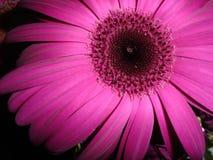 雏菊gerber紫红色 免版税库存图片