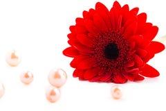 雏菊gerber红色 库存照片