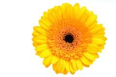 雏菊gerber黄色 图库摄影
