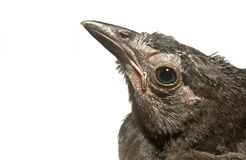 雏鸟grackle 免版税图库摄影