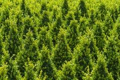 雕刻的绿色黄杨属工业发展  免版税库存照片
